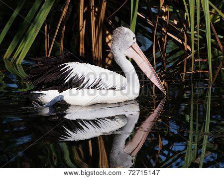 Australian Pelican, Pelecanus Conspicillatus