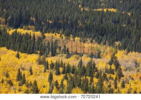 Aspen Grove And Pine Trees