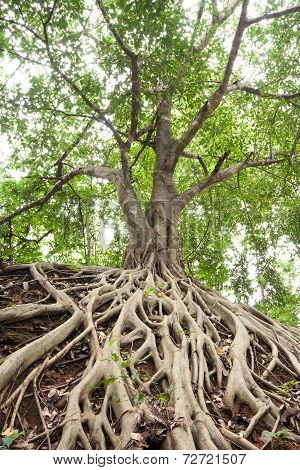 Root Of Banyan Tree.