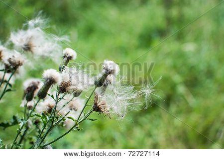 Dandelion Delight