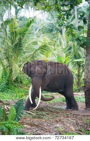 Elephant Portrait With Large Tusks In Jungle