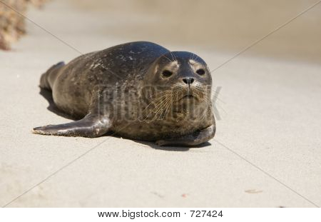 Harbor Seal Pup 1