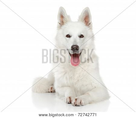 Swiss Shepherd Dog On White Background