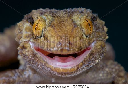 Thick toed gecko / Chondrodactylus turneri