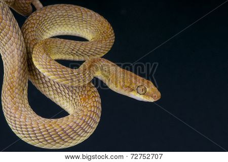 Arabian cat snake / Telescopus dhara