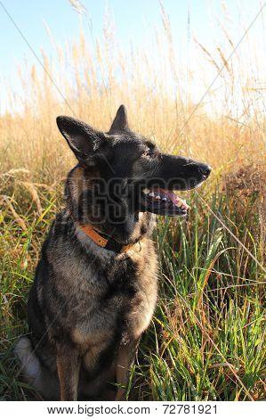 Alsatian Shepherd