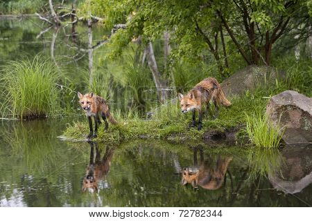 Red Foxes at the River with Reflection
