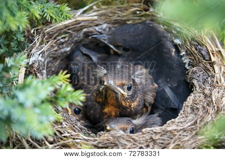 Four Cuddling Birds In Nest Curiously Inspecting Camera