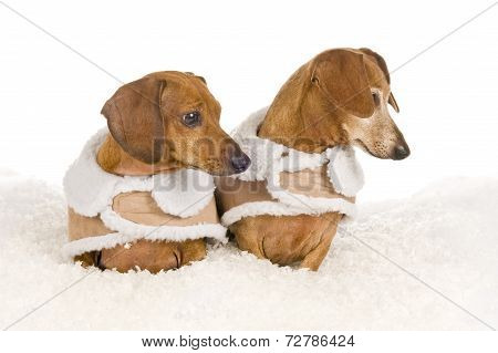 Two Dachshunds Wearing Coats Looking Over