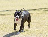 image of american staffordshire terrier  - A small young beautiful black and white American Staffordshire Terrier walking on the grass looking playful and cheerful - JPG