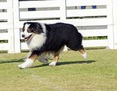 stock photo of herding dog  - A young healthy beautiful black white and red Australian Shepherd dog walking on the grass looking very calm and adorable - JPG