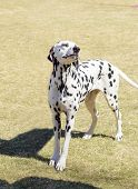 stock photo of spotted dog  - A young beautiful Dalmatian dog standing on the lawn distinctive for its white and black spots on its coat and for being alert active and an intelligent breed - JPG