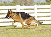 stock photo of alsatian  - A young beautiful black and tan German Shepherd Dog walking on the grass while looking happy and playful - JPG