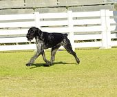 stock photo of scenthound  - A young beautiful black and white ticked German Wirehaired Pointer dog walking on the grass The Drahthaar has a distinctive eyebrows beard and whiskers and straight harsh wiry coat - JPG