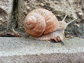 picture of garden snail  - Detail photo of a land snail  - JPG