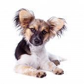 foto of epagneul  - Papillon dog lying on a white background - JPG