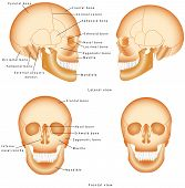 picture of mandible  - Skull anatomy labeling - JPG