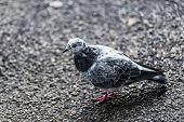 foto of ceres  - Pigeons and doves constitute the bird clade Columbidae - JPG
