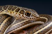 stock photo of venom  - The sand snake is a fast moving - JPG