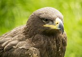 picture of hawk  - Portrait of a brown hawk in the nature - JPG
