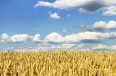 image of paysage  - Field of ripe rye against the sky with clouds in the sunny weather - JPG