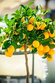 picture of tangerine-tree  - ripe mandarines growing on the small ornamental tangerine tree - JPG