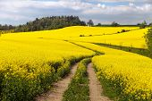 stock photo of turnip greens  - Field of rapeseed  - JPG