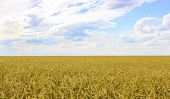 picture of paysage  - Landscape with field of ripe wheat and sky with clouds - JPG