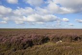 pic of windswept  - a windswept flowering heather moorland under a blue cloudy sky in autumn - JPG