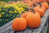 stock photo of mums  - Colorful autumn mums with pumpkins in the background - JPG