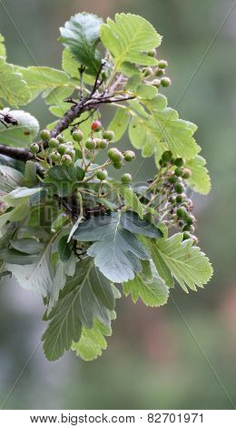 Sorbus Hybrid