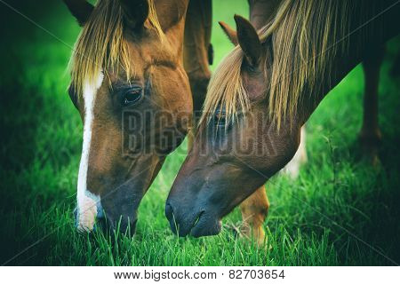 Horses grazing