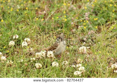 Female House Sparrow In Grass