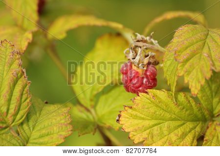 Natural Raspberry