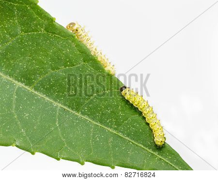 Caterpillars Of Eri Silk Moth