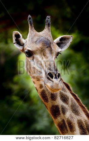 Close Up Giraffe