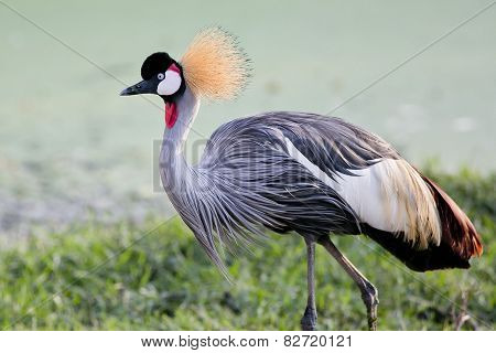 Grey Crowned Crane Bird In Rainforest