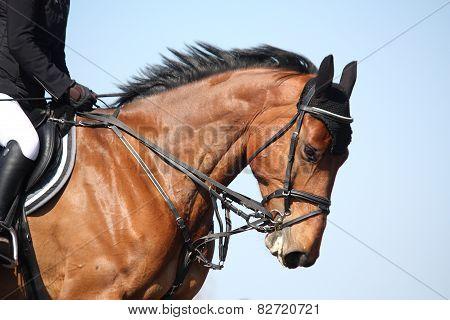 Brown Sport Horse Portrait During Show