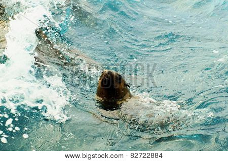 Australian fur seal swimming.