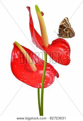 Red anthurium with butterfly