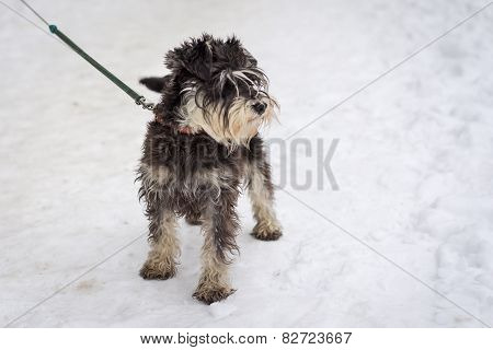 Miniature Black And Silver Schnauzer Standing On The Snow