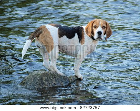Beagle Standing On A Rock , The Water Around