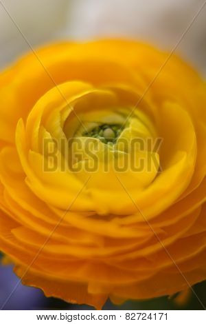 Yellow helichrysum flower