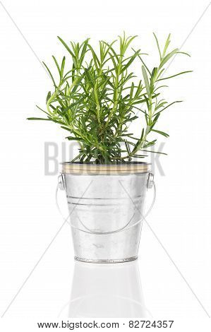 Rosemary Herb Plant Growing In A Distressed Pewter Pot,