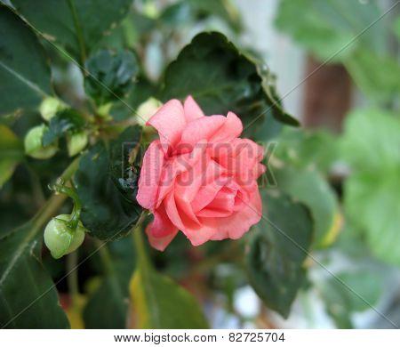 Pink Impatiens Flower (balsamine)