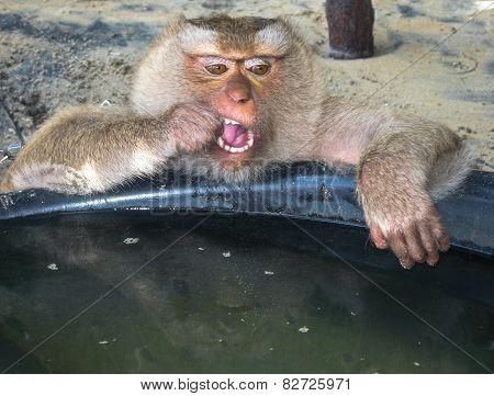 Monkey On The Thailand Beach