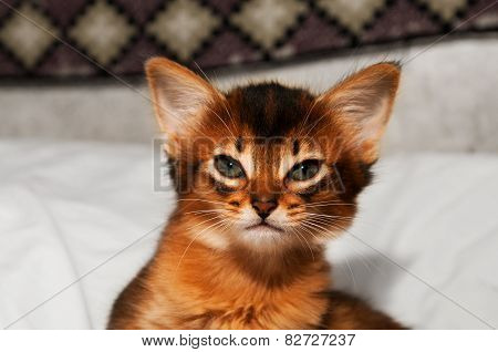 Portrait Of Somali Kitten