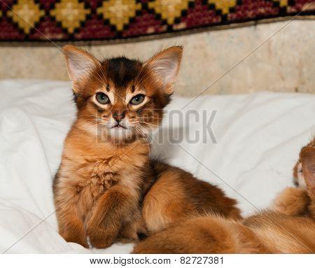 Somali Kitten Portrait