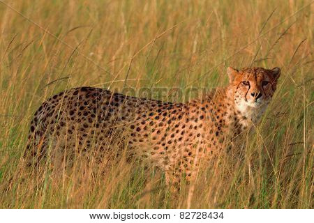 Male cheetah