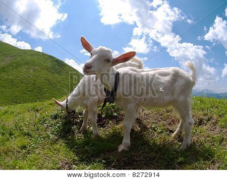 two male goat lambs